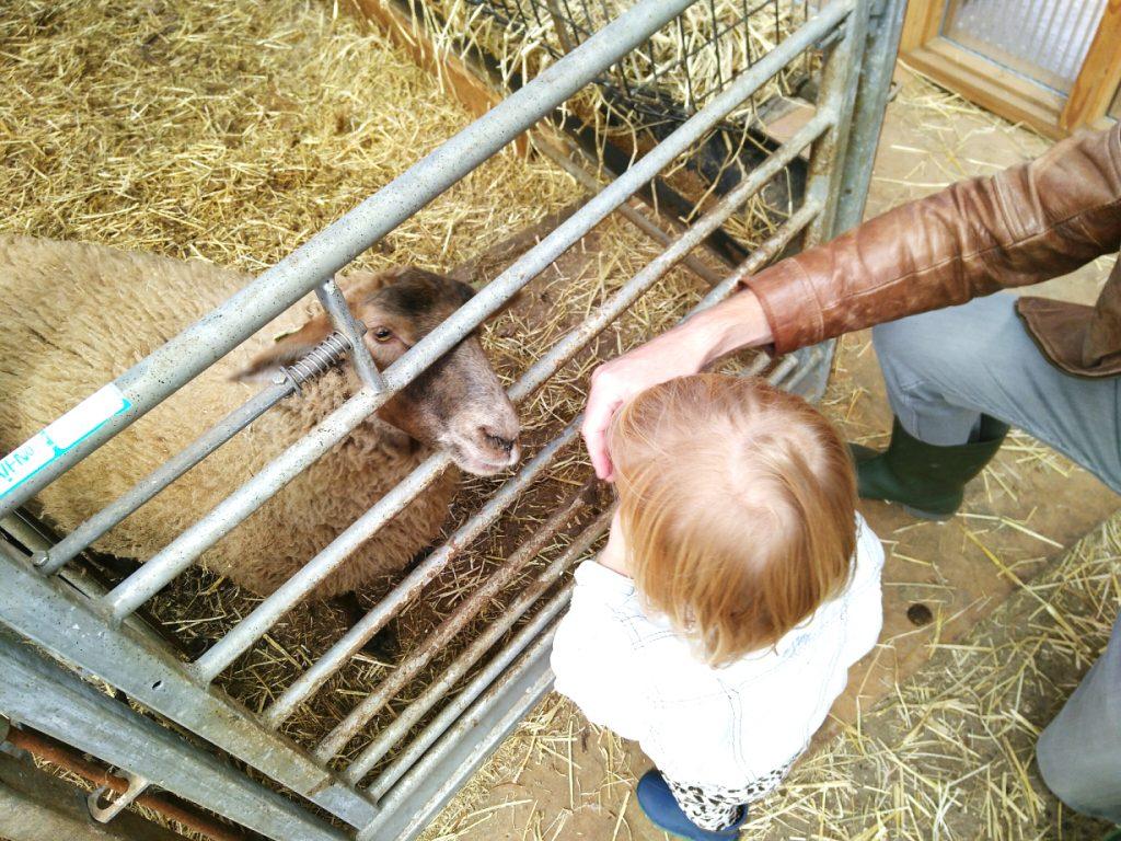 Kind aait schaap op boerderij